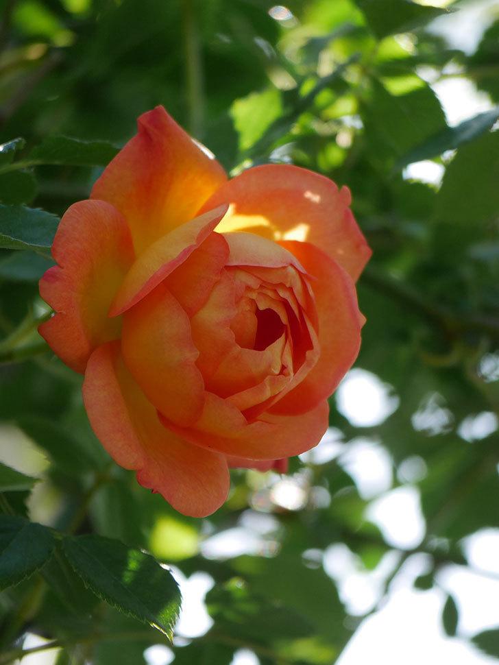 レディ・オブ・シャーロット(Lady of Shalott)の花が咲いた。半ツルバラ。2021年-017.jpg