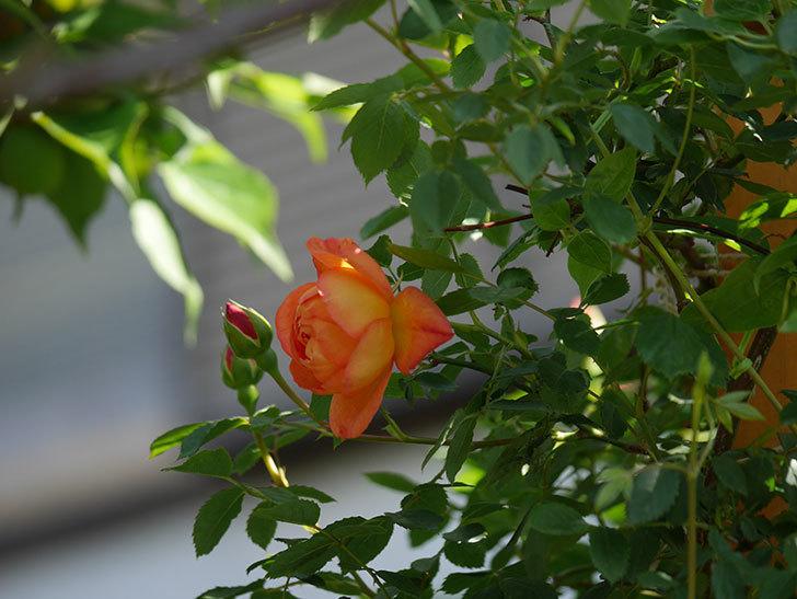 レディ・オブ・シャーロット(Lady of Shalott)の花が咲いた。半ツルバラ。2021年-018.jpg