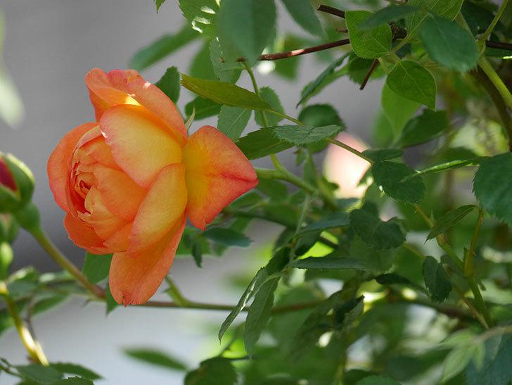 レディ・オブ・シャーロット(Lady of Shalott)の花が咲いた。半ツルバラ。2021年-019.jpg