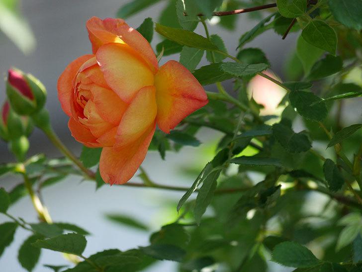 レディ・オブ・シャーロット(Lady of Shalott)の花が咲いた。半ツルバラ。2021年-020.jpg
