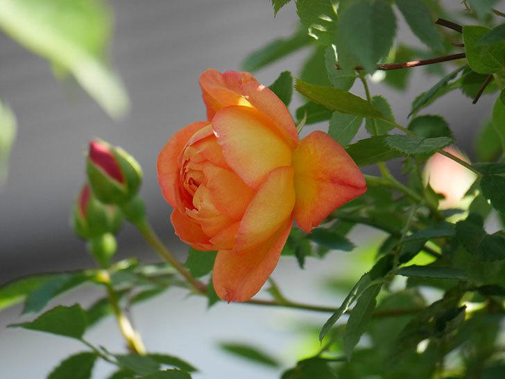 レディ・オブ・シャーロット(Lady of Shalott)の花が咲いた。半ツルバラ。2021年-022.jpg
