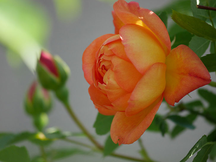 レディ・オブ・シャーロット(Lady of Shalott)の花が咲いた。半ツルバラ。2021年-023.jpg