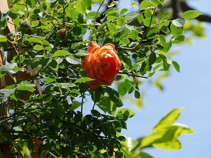 レディ・オブ・シャーロット(Lady of Shalott)の花が咲いた。半ツルバラ。2021年-024.jpg