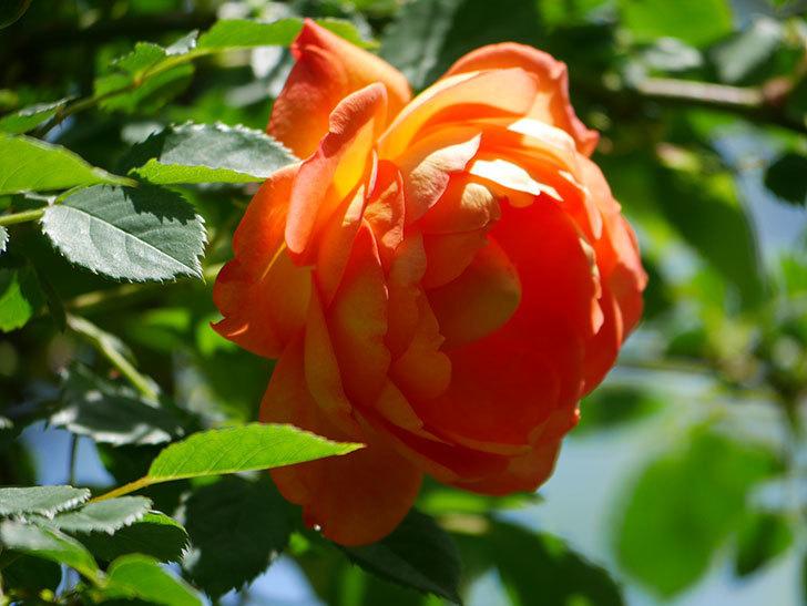 レディ・オブ・シャーロット(Lady of Shalott)の花が咲いた。半ツルバラ。2021年-026.jpg