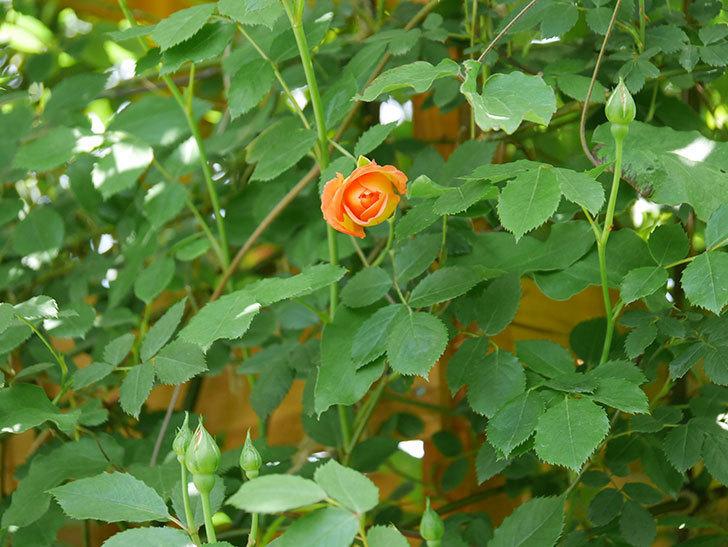 レディ・オブ・シャーロット(Lady of Shalott)の花が咲いた。半ツルバラ。2021年-030.jpg