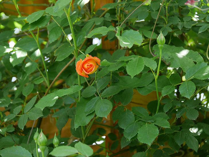 レディ・オブ・シャーロット(Lady of Shalott)の花が咲いた。半ツルバラ。2021年-031.jpg