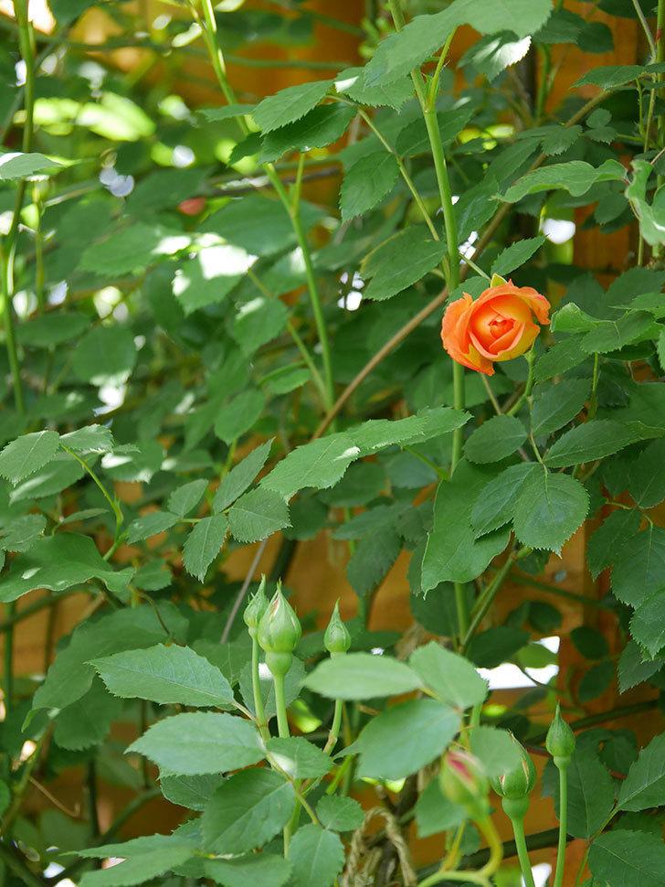 レディ・オブ・シャーロット(Lady of Shalott)の花が咲いた。半ツルバラ。2021年-032.jpg