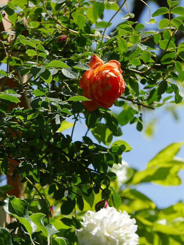 レディ・オブ・シャーロット(Lady of Shalott)の花が咲いた。半ツルバラ。2021年-033.jpg