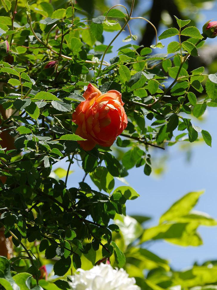レディ・オブ・シャーロット(Lady of Shalott)の花が咲いた。半ツルバラ。2021年-034.jpg