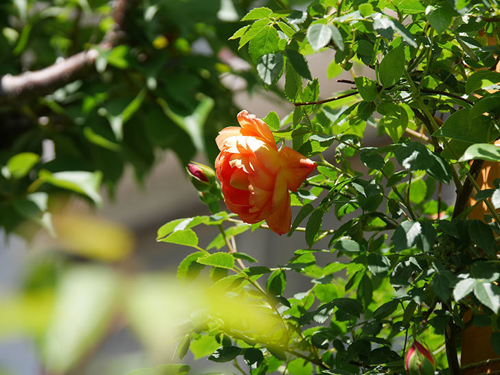 レディ・オブ・シャーロット(Lady of Shalott)の花が咲いた。半ツルバラ。2021年-035.jpg