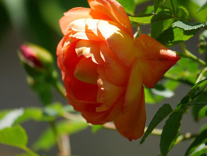 レディ・オブ・シャーロット(Lady of Shalott)の花が咲いた。半ツルバラ。2021年-036.jpg