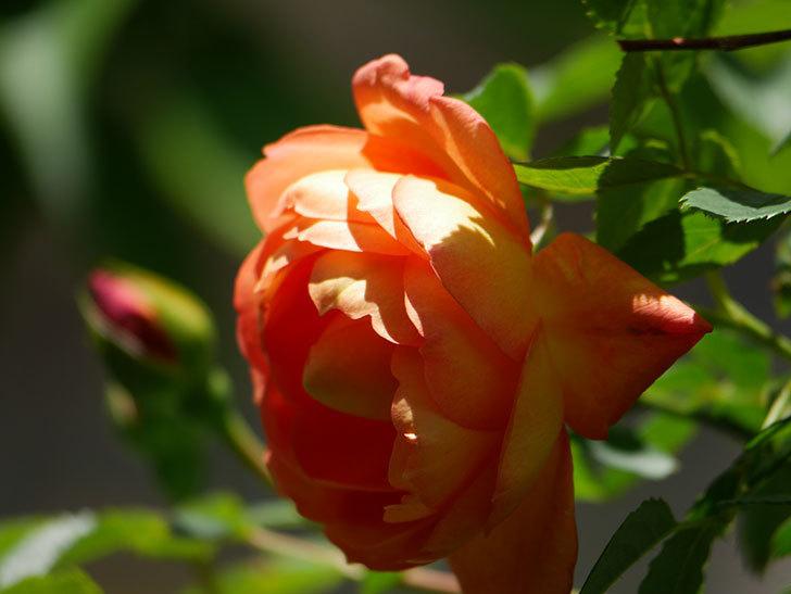 レディ・オブ・シャーロット(Lady of Shalott)の花が咲いた。半ツルバラ。2021年-038.jpg