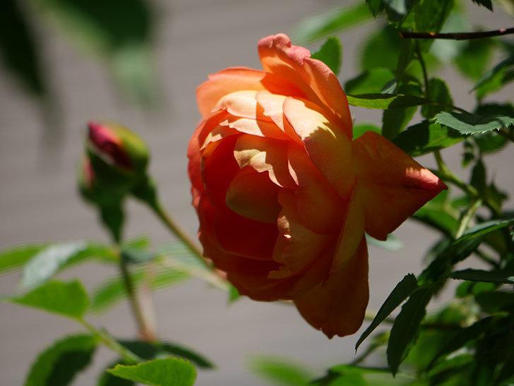 レディ・オブ・シャーロット(Lady of Shalott)の花が咲いた。半ツルバラ。2021年-039.jpg