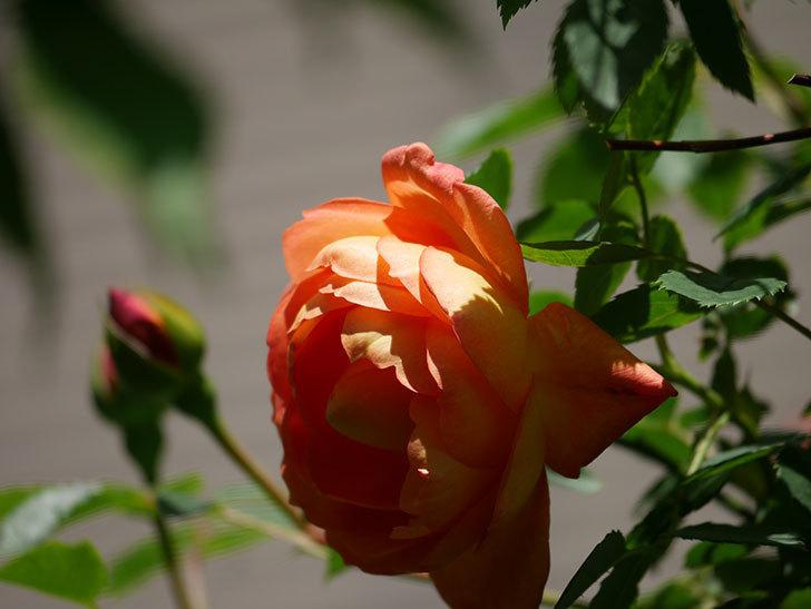 レディ・オブ・シャーロット(Lady of Shalott)の花が咲いた。半ツルバラ。2021年-040.jpg
