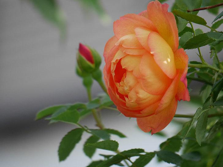 レディ・オブ・シャーロット(Lady of Shalott)の花が増えてきた。半ツルバラ。2021年-002.jpg