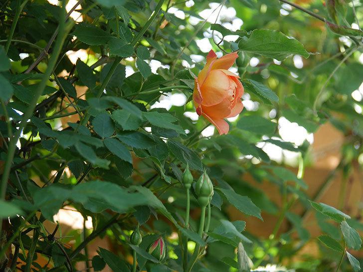 レディ・オブ・シャーロット(Lady of Shalott)の花が増えてきた。半ツルバラ。2021年-003.jpg
