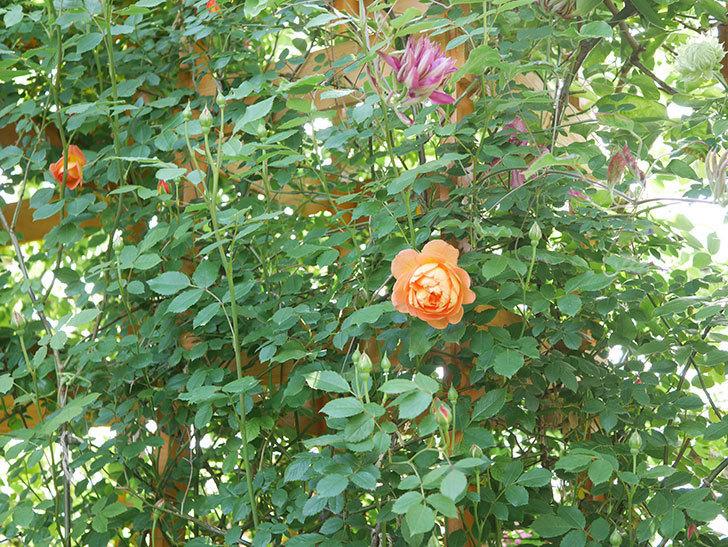 レディ・オブ・シャーロット(Lady of Shalott)の花が増えてきた。半ツルバラ。2021年-006.jpg
