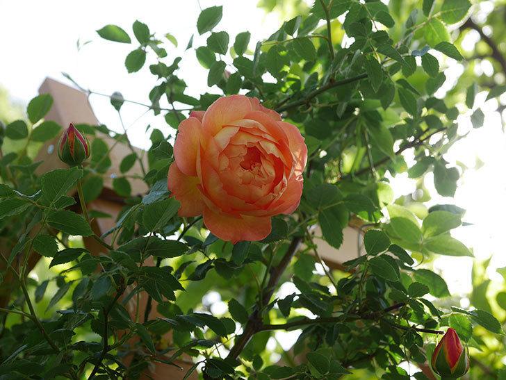 レディ・オブ・シャーロット(Lady of Shalott)の花が増えてきた。半ツルバラ。2021年-008.jpg