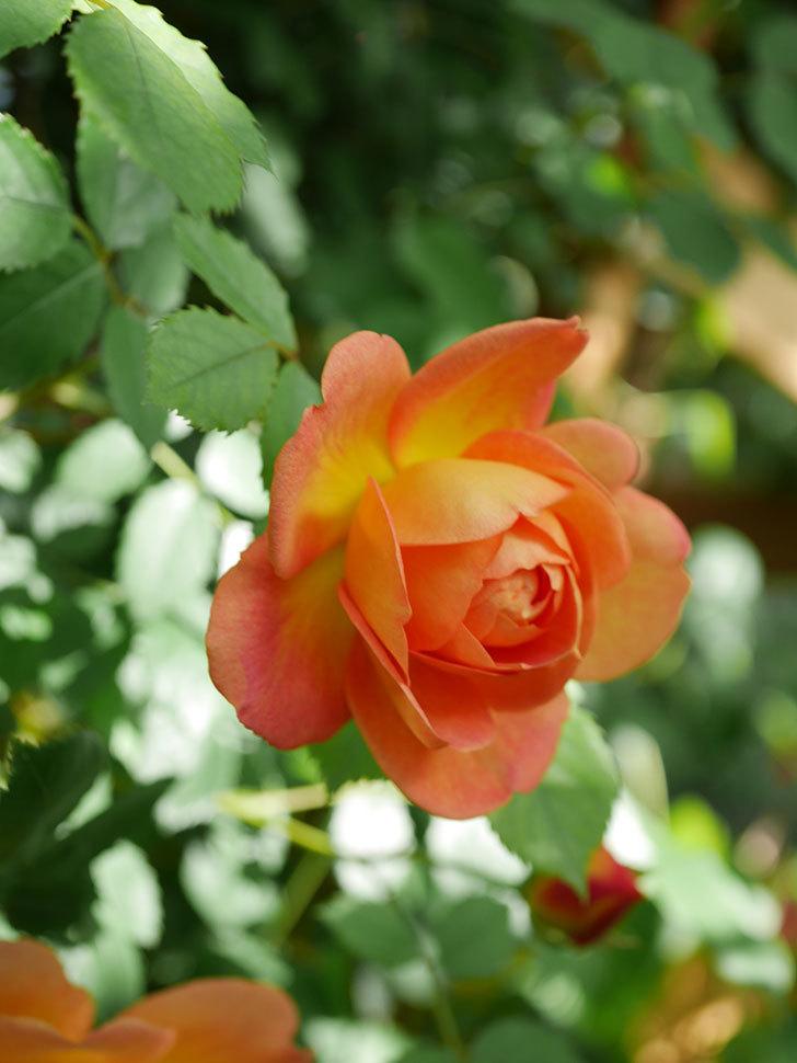 レディ・オブ・シャーロット(Lady of Shalott)の花が増えてきた。半ツルバラ。2021年-009.jpg