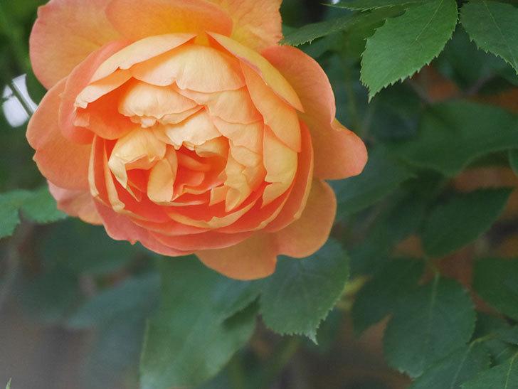 レディ・オブ・シャーロット(Lady of Shalott)の花が増えてきた。半ツルバラ。2021年-011.jpg