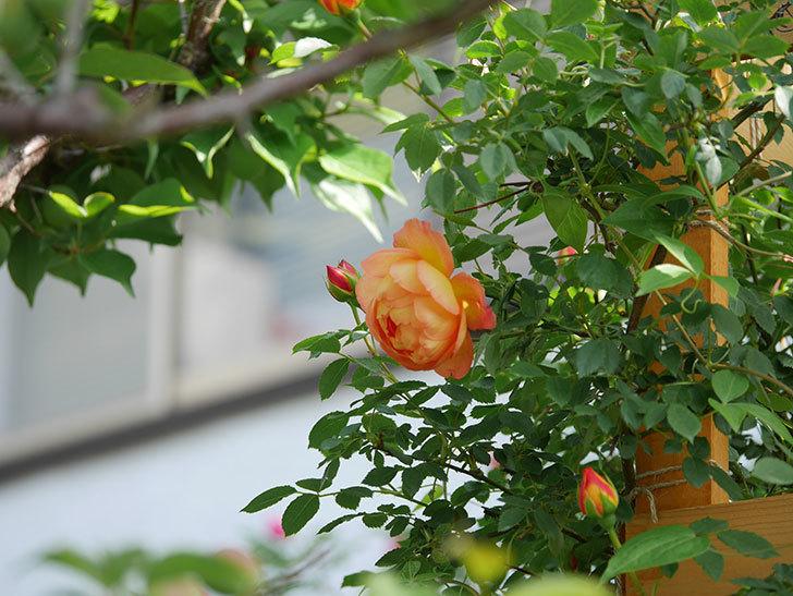 レディ・オブ・シャーロット(Lady of Shalott)の花が増えてきた。半ツルバラ。2021年-012.jpg