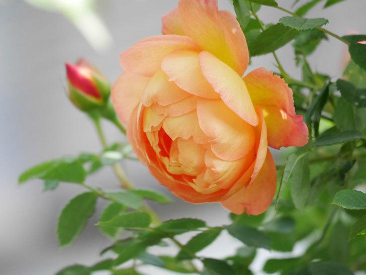 レディ・オブ・シャーロット(Lady of Shalott)の花が増えてきた。半ツルバラ。2021年-013.jpg