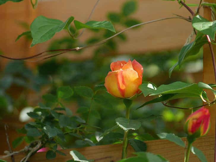 レディ・オブ・シャーロット(Lady of Shalott)の花が増えてきた。半ツルバラ。2021年-014.jpg