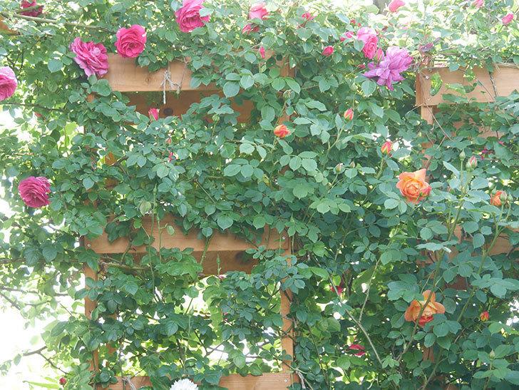 レディ・オブ・シャーロット(Lady of Shalott)の花が増えてきた。半ツルバラ。2021年-015.jpg