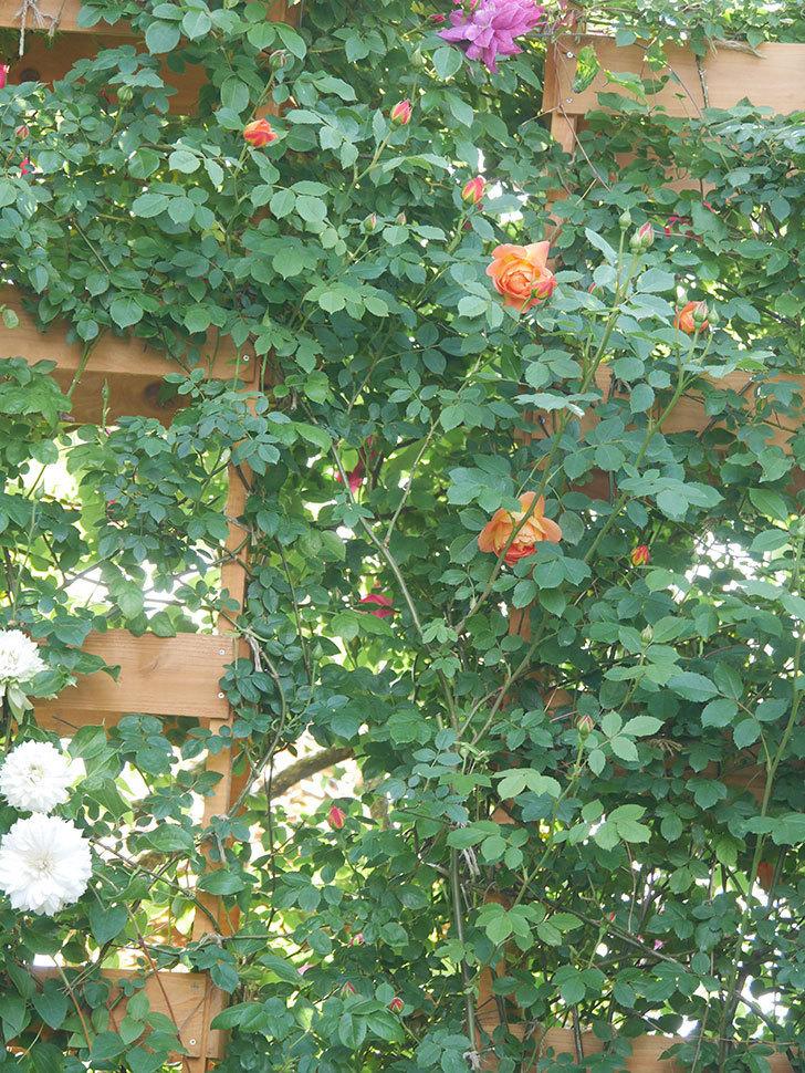 レディ・オブ・シャーロット(Lady of Shalott)の花が増えてきた。半ツルバラ。2021年-016.jpg