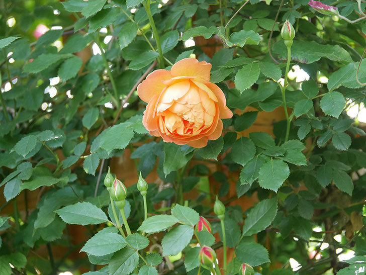 レディ・オブ・シャーロット(Lady of Shalott)の花が増えてきた。半ツルバラ。2021年-017.jpg