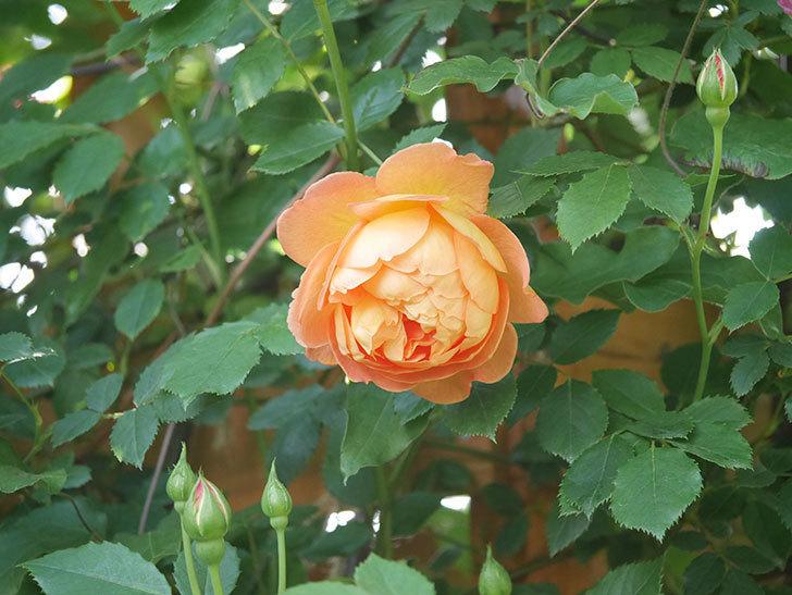 レディ・オブ・シャーロット(Lady of Shalott)の花が増えてきた。半ツルバラ。2021年-018.jpg