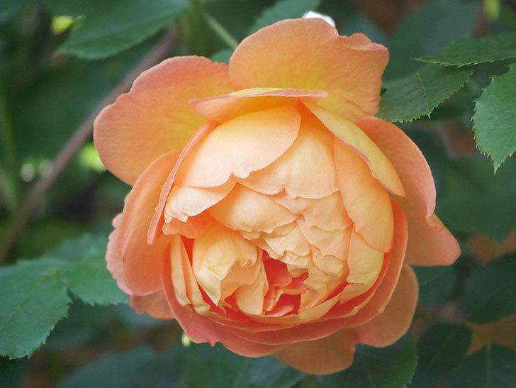 レディ・オブ・シャーロット(Lady of Shalott)の花が増えてきた。半ツルバラ。2021年-019.jpg