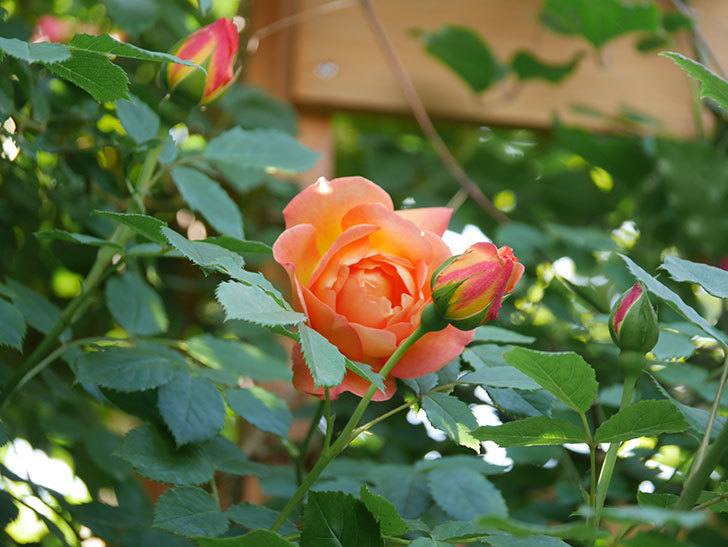 レディ・オブ・シャーロット(Lady of Shalott)の花が増えてきた。半ツルバラ。2021年-020.jpg