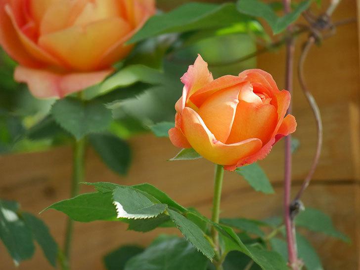 レディ・オブ・シャーロット(Lady of Shalott)の花が増えてきた。半ツルバラ。2021年-024.jpg