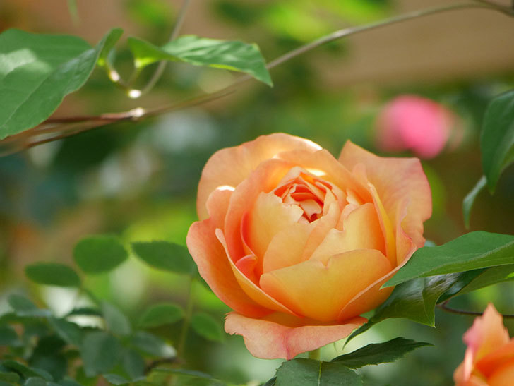 レディ・オブ・シャーロット(Lady of Shalott)の花が増えてきた。半ツルバラ。2021年-026.jpg