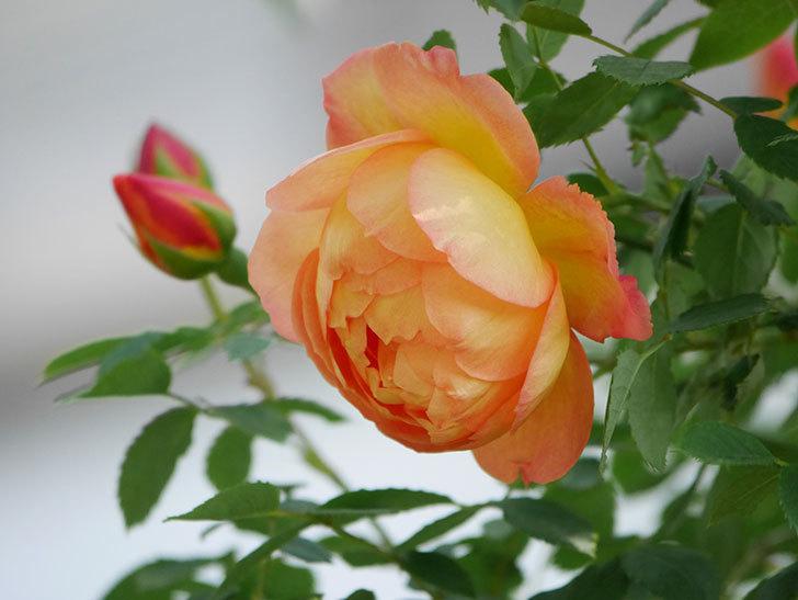 レディ・オブ・シャーロット(Lady of Shalott)の花が増えてきた。半ツルバラ。2021年-027.jpg
