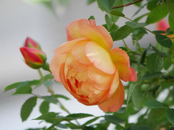 レディ・オブ・シャーロット(Lady of Shalott)の花が増えてきた。半ツルバラ。2021年-028.jpg