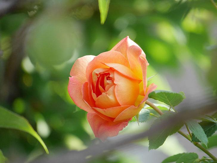 レディ・オブ・シャーロット(Lady of Shalott)の花が増えてきた。半ツルバラ。2021年-029.jpg
