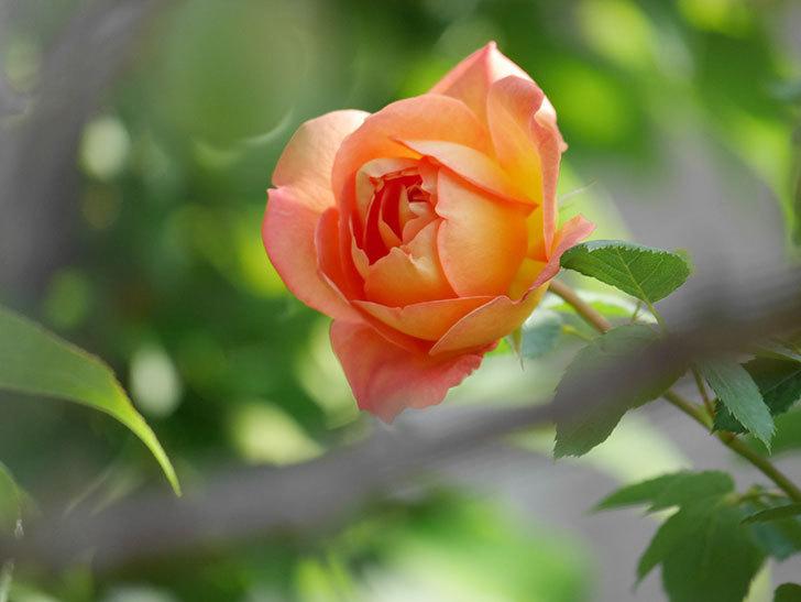 レディ・オブ・シャーロット(Lady of Shalott)の花が増えてきた。半ツルバラ。2021年-030.jpg