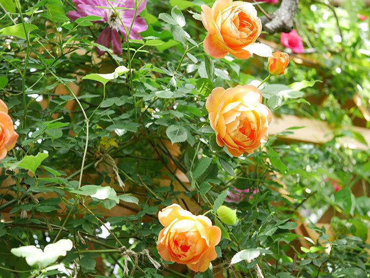 レディ・オブ・シャーロット(Lady of Shalott)の花が増えてきた。半ツルバラ。2021年-033.jpg