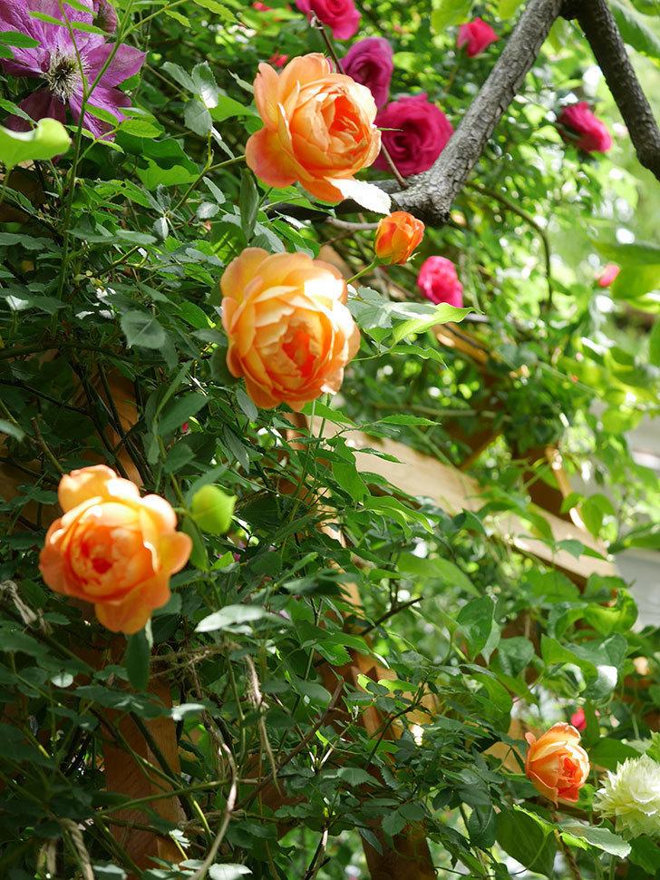 レディ・オブ・シャーロット(Lady of Shalott)の花が増えてきた。半ツルバラ。2021年-034.jpg
