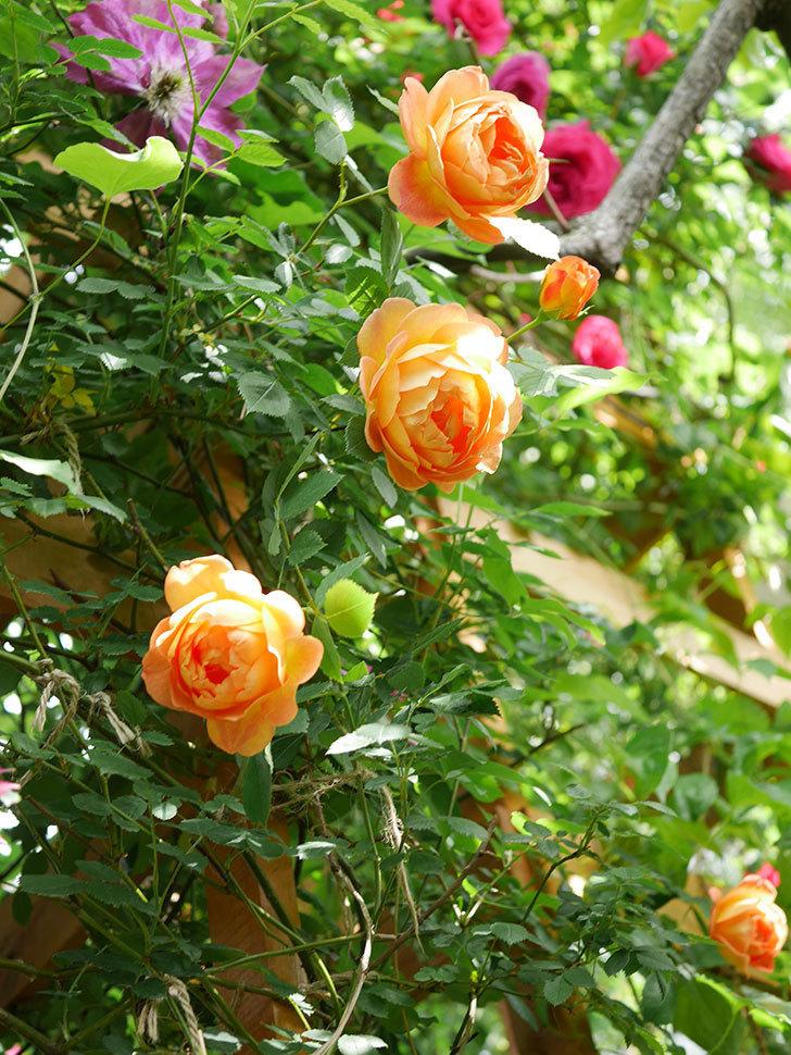 レディ・オブ・シャーロット(Lady of Shalott)の花が増えてきた。半ツルバラ。2021年-035.jpg