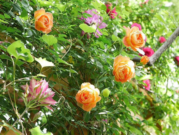 レディ・オブ・シャーロット(Lady of Shalott)の花が増えてきた。半ツルバラ。2021年-036.jpg