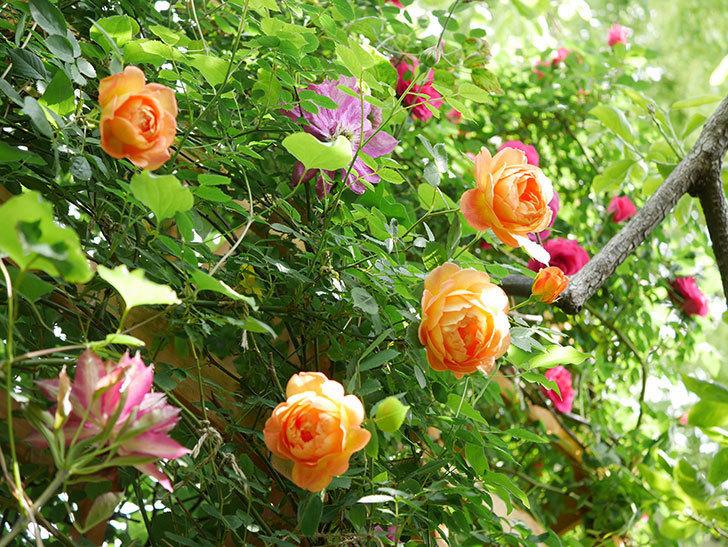 レディ・オブ・シャーロット(Lady of Shalott)の花が増えてきた。半ツルバラ。2021年-037.jpg