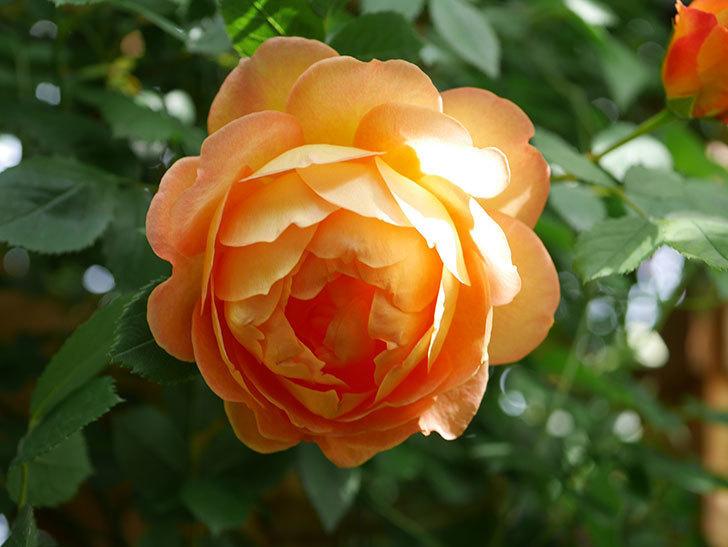 レディ・オブ・シャーロット(Lady of Shalott)の花が増えてきた。半ツルバラ。2021年-039.jpg