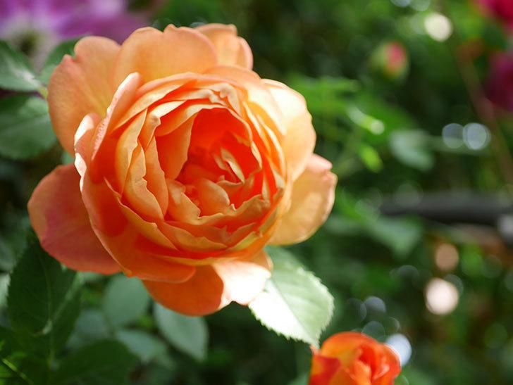 レディ・オブ・シャーロット(Lady of Shalott)の花が増えてきた。半ツルバラ。2021年-040.jpg