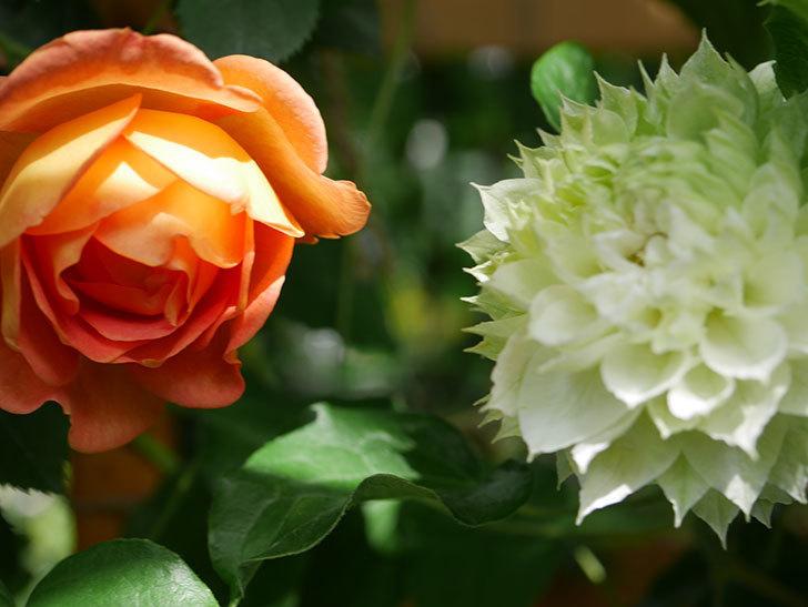 レディ・オブ・シャーロット(Lady of Shalott)の花が増えてきた。半ツルバラ。2021年-041.jpg