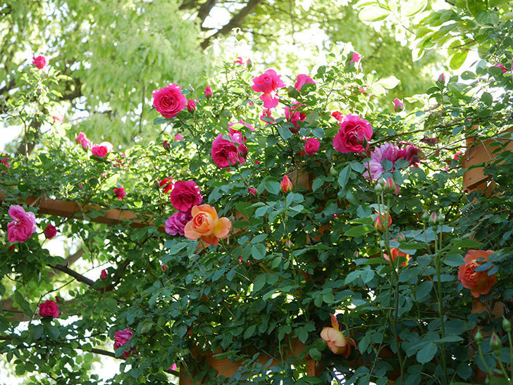 レディ・オブ・シャーロット(Lady of Shalott)の花が増えてきた。半ツルバラ。2021年-042.jpg