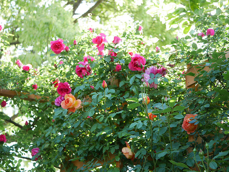 レディ・オブ・シャーロット(Lady of Shalott)の花が増えてきた。半ツルバラ。2021年-043.jpg