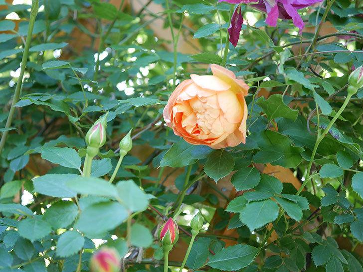 レディ・オブ・シャーロット(Lady of Shalott)の花が増えてきた。半ツルバラ。2021年-044.jpg